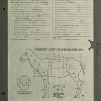 Grevy's zebra, specimen measurement chart for Water Hole Group, Akeley Hall of African Mammals