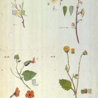 Plants, botanical illustration with colors noted, for use in Ostrich Group, Akeley Hall of African Mammals