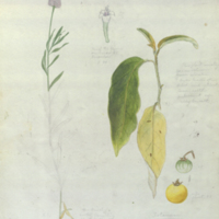 Flower, leaves, and fruit, botanical illustration, watercolor and verso for the Kidong Valley, Ostrich Group diorama in the Akeley Hall of African Mammals