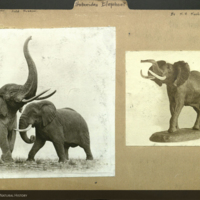 Elephant taxidermy and sculpture, photographs mounted to Proboscidae folder, with text noting Field Museum