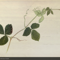 Vine, botanical illustration for use in Plains Group, Akeley Hall of African Mammals