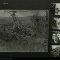 People with botanical specimens, landscape, Africa, field photographs mounted to card, for use in Gorilla Group, Akeley Hall of African Mammals