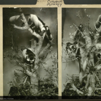Photographs of mounted Colobus monkeys, primates folder