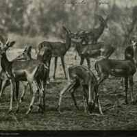 Herd of Impala, Africa, field photograph mounted to card, for use in Impala Group, Akeley Hall of African Mammals