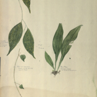 Plants, botanical illustration for use in Leopard Group, Hall of Asian Mammals
