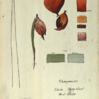 Oil palm fruit, botanical illustration with colors noted for Chimpanzee Group, Akeley Hall of African Mammals