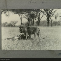 Lion standing over Zebra, Africa, field photograph mounted to card, for use in Lion Group, Akeley Hall of African Mammals