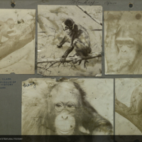 Chimpanzee and orangutan, photographs mounted to card, for use in Chimpanzee Group, Akeley Hall of African Mammals