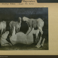 Zebra mannequins made by Joseph and Remi Sautens, photograph mounted to preparations folder