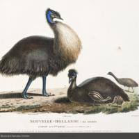 Family of cassowary from Péron's Voyage de découvertes aux terres australes