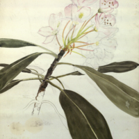 Flowers and leaves, botanical illustration for use in Coyote Group, Hall of North American Mammals