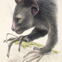Adult male aye-aye from Owen's Monograph on the aye-aye
