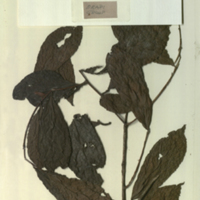 Plant specimens, probably Flacourtiaceae, member of Zingiberaceae, for use in Okapi Group, Akeley Hall of African Mammals