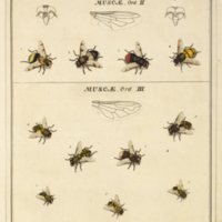 Syrphidae from Harris' An exposition of English insects