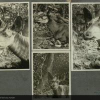 Okapi, photographs mounted to card, for use in Okapi Group, Akeley Hall of African Mammals