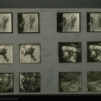 Botanical field photographs mounted to card, for use in Klipspringer Group, Akeley Hall of African Mammals