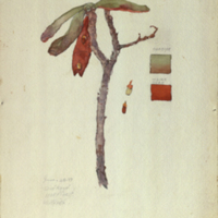 Plant, botanical illustration with colors noted for Chimpanzee Group, Akeley Hall of African Mammals