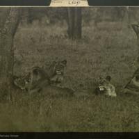 Lions, Carnivores folder