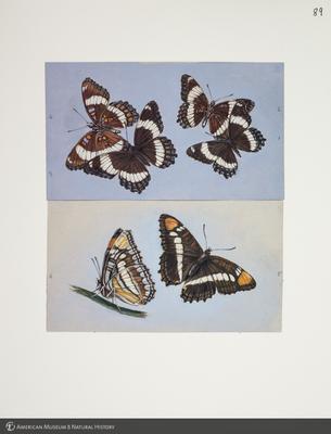 http://lbry-web-002.amnh.org/san/to_upload/titianbutterflies/b1083009_100.jpg