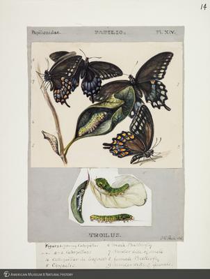 http://lbry-web-002.amnh.org/san/to_upload/titianbutterflies/b1083009_13.jpg