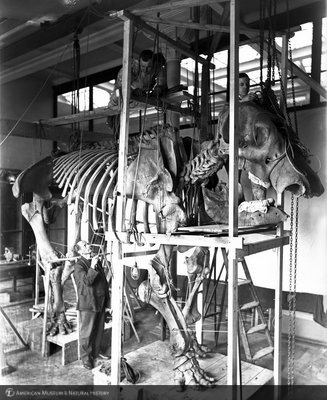 http://images.library.amnh.org/d/t/8x10/0001/00035356_l.jpg