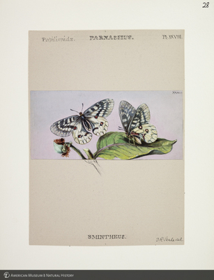 http://lbry-web-002.amnh.org/san/to_upload/titianbutterflies/b1083009_29.jpg