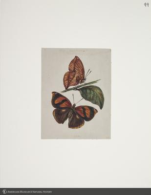 http://lbry-web-002.amnh.org/san/to_upload/titianbutterflies/b1083009_110.jpg