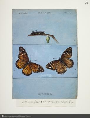 http://lbry-web-002.amnh.org/san/to_upload/titianbutterflies/b1083009_53.jpg