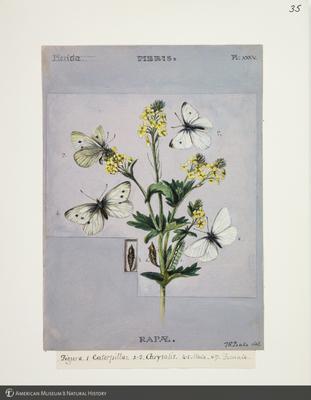 http://lbry-web-002.amnh.org/san/to_upload/titianbutterflies/b1083009_38.jpg