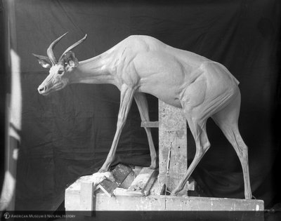 http://images.library.amnh.org/d/t/8x10/0001/00313455_l.jpg