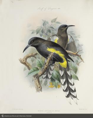 http://lbry-web-002.amnh.org/san/to_upload/extraordinarybirds/b10595077_2.jpg