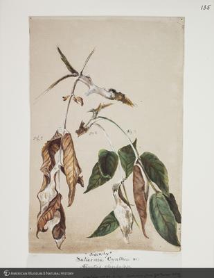 http://lbry-web-002.amnh.org/san/to_upload/titianbutterflies/b1083009_138.jpg