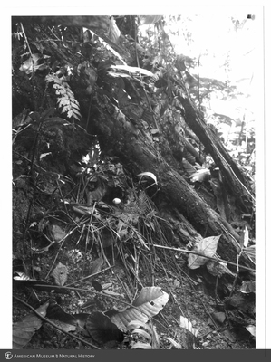 http://lbry-web-002.amnh.org/san/to_upload/Beck-PapuaNewGuinea/NG-5x7-prints/115579.jpg