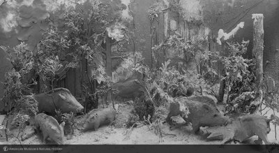 http://images.library.amnh.org/d/t/8x10/0001/00033407_l.jpg