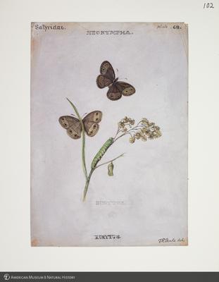 http://lbry-web-002.amnh.org/san/to_upload/titianbutterflies/b1083009_113.jpg
