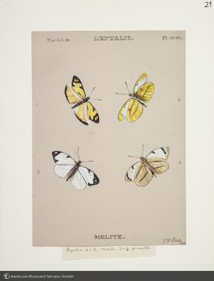 http://lbry-web-002.amnh.org/san/to_upload/titianbutterflies/b1083009_31.jpg