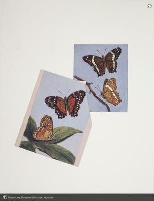 http://lbry-web-002.amnh.org/san/to_upload/titianbutterflies/b1083009_87.jpg