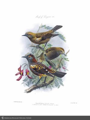 http://lbry-web-002.amnh.org/san/to_upload/extraordinarybirds/b10595077_1.jpg