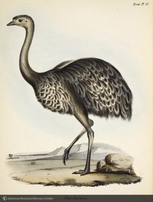 http://lbry-web-002.amnh.org/san/naturalhistories/b10187236_4.jpg