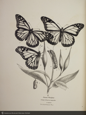 http://lbry-web-002.amnh.org/san/to_upload/titianbutterflies/b1140549_25.jpg