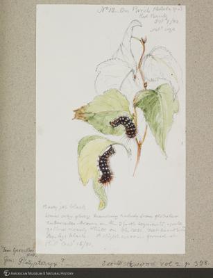 http://lbry-web-002.amnh.org/san/to_upload/titianbutterflies/b1179161_184.jpg