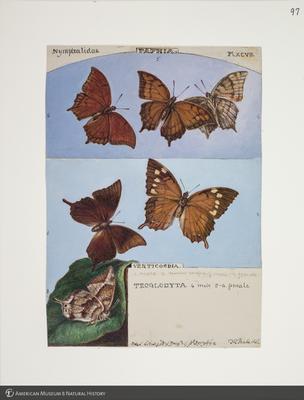 http://lbry-web-002.amnh.org/san/to_upload/titianbutterflies/b1083009_108.jpg