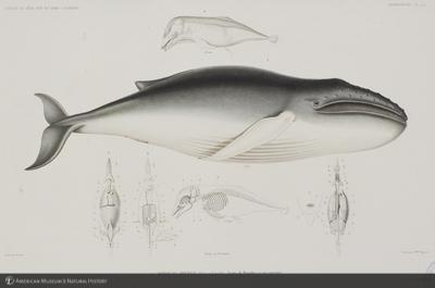 http://lbry-web-002.amnh.org/san/naturalhistories/b11358725_2.jpg