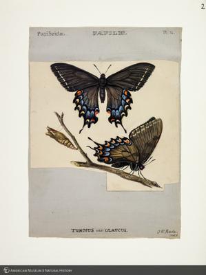 http://lbry-web-002.amnh.org/san/to_upload/titianbutterflies/b1083009_1.jpg