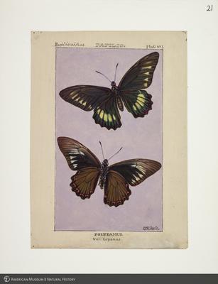 http://lbry-web-002.amnh.org/san/to_upload/titianbutterflies/b1083009_21.jpg