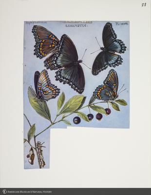 http://lbry-web-002.amnh.org/san/to_upload/titianbutterflies/b1083009_98.jpg