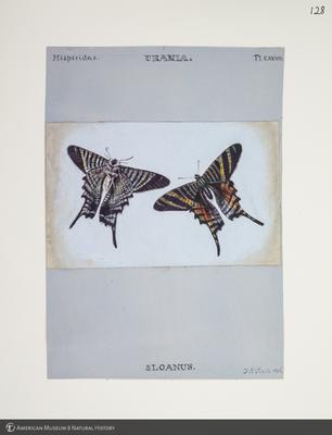 http://lbry-web-002.amnh.org/san/to_upload/titianbutterflies/b1083009_129.jpg