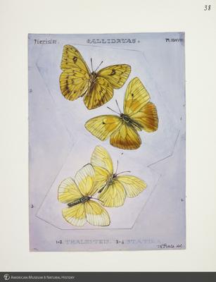 http://lbry-web-002.amnh.org/san/to_upload/titianbutterflies/b1083009_41.jpg