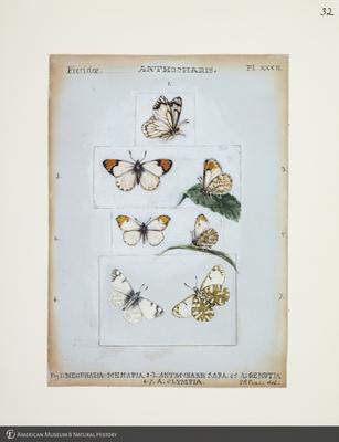 http://lbry-web-002.amnh.org/san/to_upload/titianbutterflies/b1083009_35.jpg