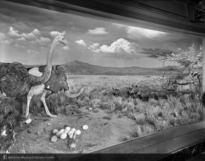 http://images.library.amnh.org/d/t/8x10/0001/00317455_l.jpg
